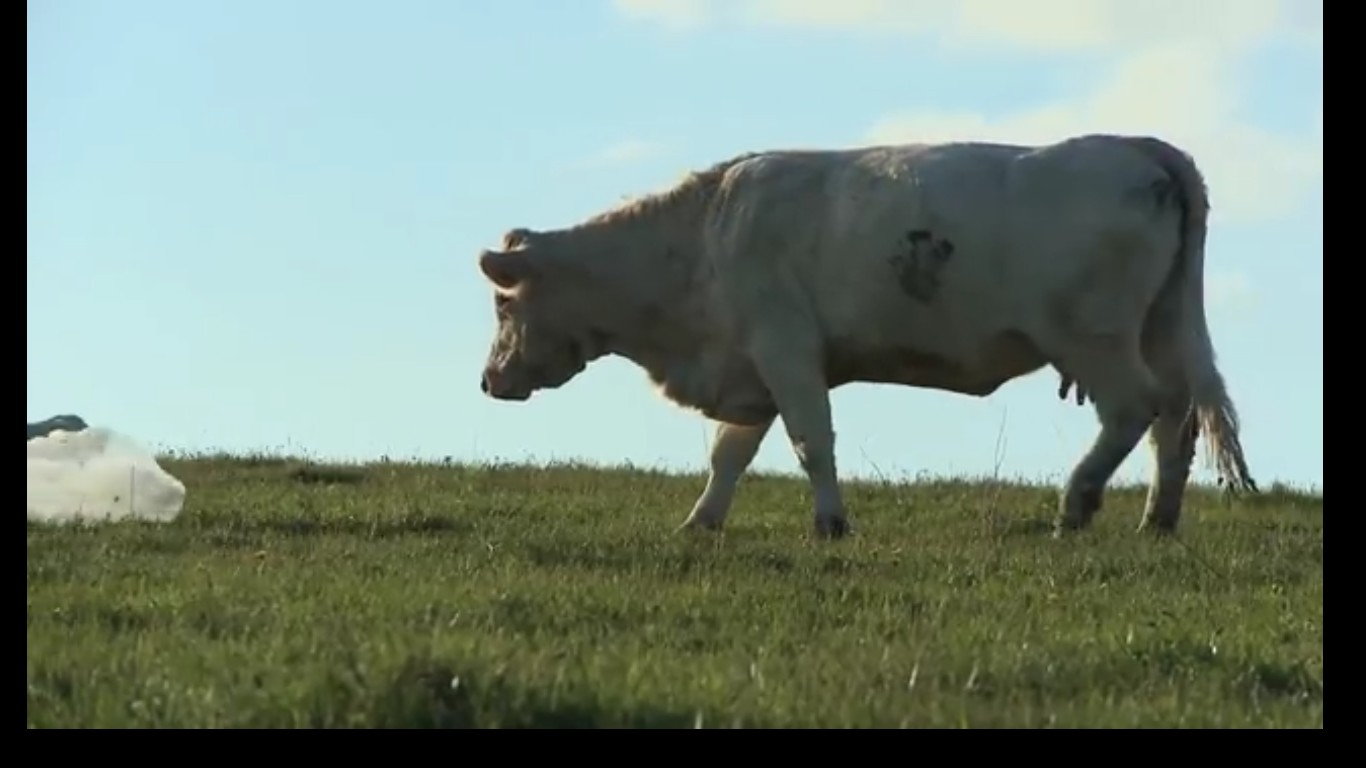 bovines 2