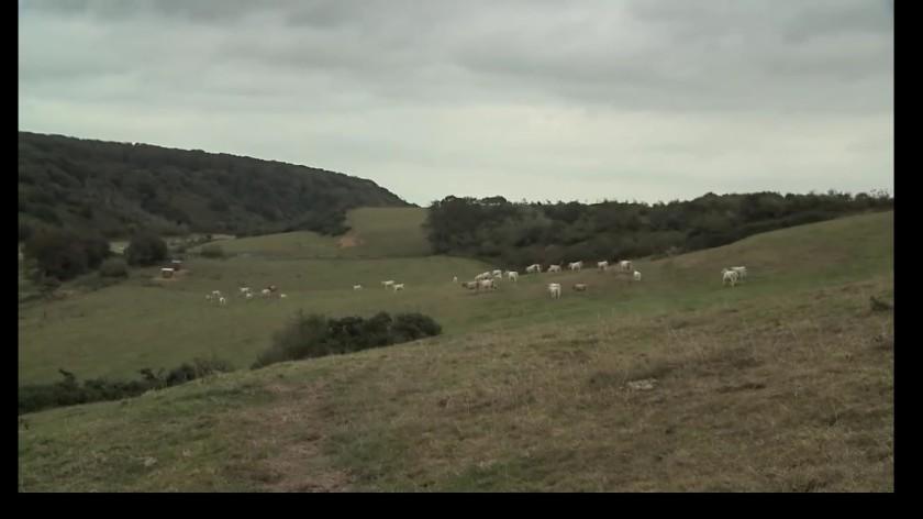 bovines 4