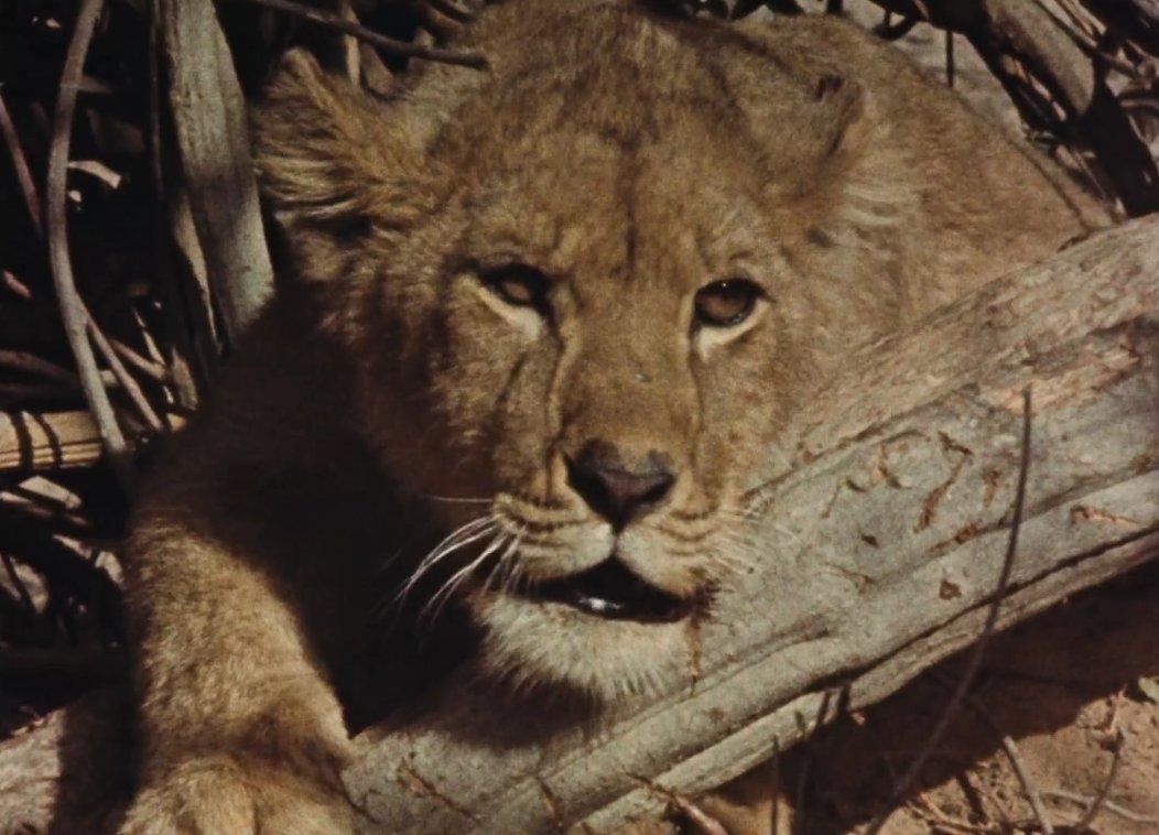 chasse au lion 5